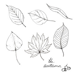 Hand drawn line art. Sketches of different autumn leaves isolated on the white background.