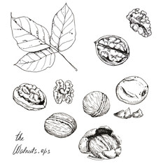 Hand drawn line art. Ink sketch of different walnuts isolated on the white background