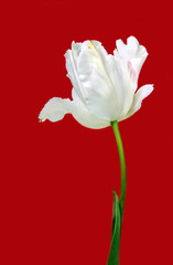 Beautiful view of white tulips