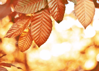 Beech tree with selective focus of the foreground and bright sun with smooth light. Nature background in autumn with copy space and red leaves.