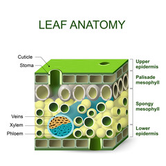 diagram of leaf structure