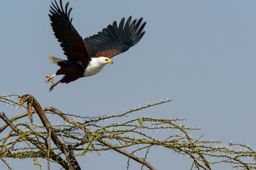 African fish eagle (Haliaeetus vocifer). Ruaha National Park. Tanzania
