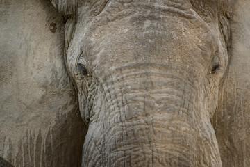 African Bush Elephant (Loxodonta africana) portrait. Ruaha National Park. Tanzania