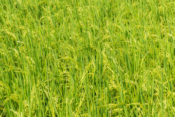Background of Paddy rice green leaf field