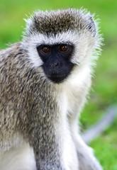 Fototapete - Vervet monkey in the savannah