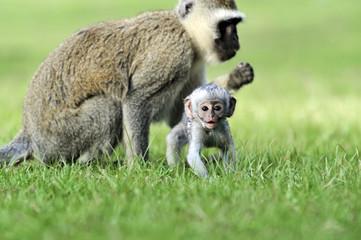 Wall Mural - Vervet monkey