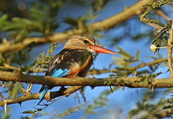 Fototapete - Grey-headed Kingfisher