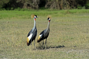 Fototapete - Crowned Crane in Kenya