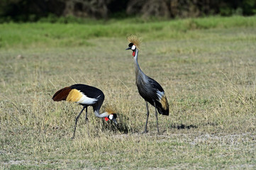 Wall Mural - Crowned Crane in Kenya