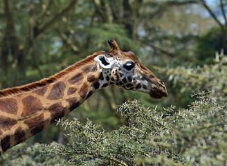 Fototapete - Giraffe in the savannah