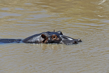 Fototapete - Hippo in the African savannah