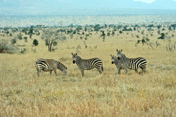 Wall Mural - Zebra in the Masai Mara
