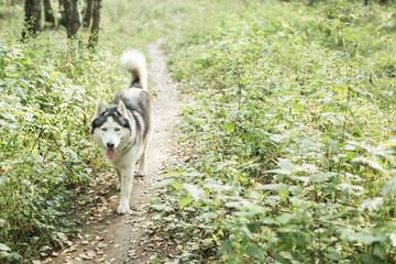 Husky dog walking  in forest, summer