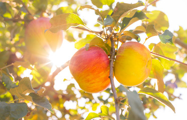 Beautiful riped apples on tree, end of summer, apple orchard in South Moravia, Czech Republic