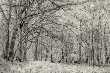 Beech trees in snowy landscape, black and white