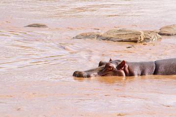 Hippo (Hippopotamus amphibius) in the water, Kenya, Africa