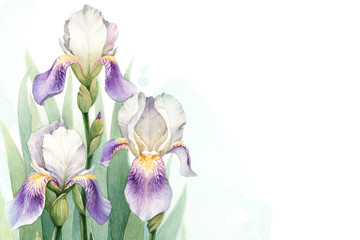 Watercolor illustration of an iris flower. Perfect for greeting