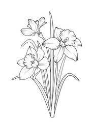 Daffodils narcissus isolated on white background. Spring flowers vector illustration.