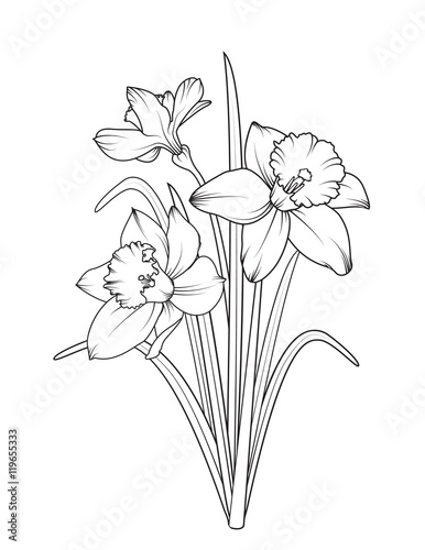 Line Drawing Daffodil : Quot daffodils narcissus isolated on white background spring