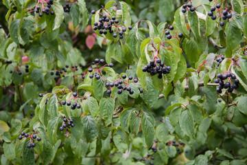 Roter Hartriegel mit reifen Beeren