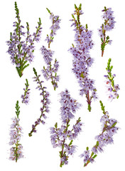 set of lilac heather blossoms isolated on white
