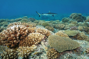 Corals on the ocean floor with a grey reef shark in background, underwater on the upper reef slope of Bora Bora island, south Pacific ocean, French Polynesia