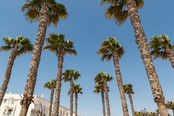 Palm trees on a sunny day, growing in southern spain mediterranean region