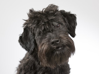 Black dog portrait. Image taken in a studio.