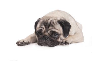 Foto auf Leinwand Hund hond, mopshond, ligt op buik met kop op vloer kijkt verdrietig en huilt, geisoleerd op witte achtergrond