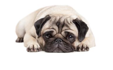Foto auf AluDibond Hund close up van lief schattig hondje, mopshondje, dat languit op vloer ligt geisoleerd op witte achtergrond