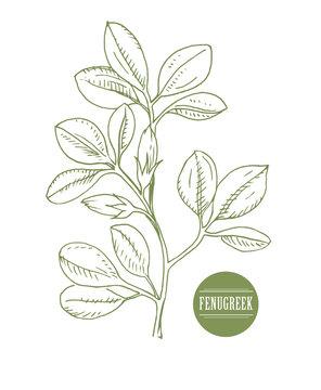 Fenugreek. Shambala. Helba.  trigonella foenum-graecum, medicinal plant. Herbs collection. handmade. vector