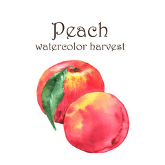 Hand-drawn watercolor illustration of fresh ripe fruits - fresh ripe peaches. Watercolor harvest isolated on the white background
