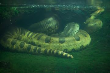 Fototapete - Green anaconda (Eunectes murinus).