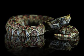 Nashorn-Viper