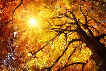 Wall Mural - Majestätische Buche im Herbst: der Baum wird von der Sonne warm durchleuchtet