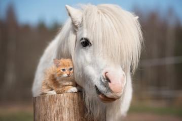 Photo sur Plexiglas Chevaux Little red kitten with white shetland pony