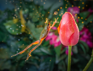 Catch the ball - Frog jumps toward a tulip in time as if to catch the water ball.