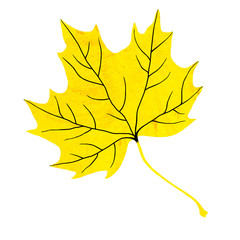 Yellow maple leaf isolated on white background.