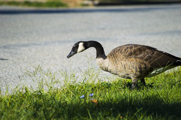 Goose walking by the road looking for something to eat