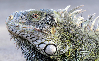 Close up de uma iguana.