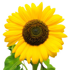 Flower of sunflower isolated on white background