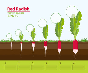 Phases of growth of a red radish in the garden