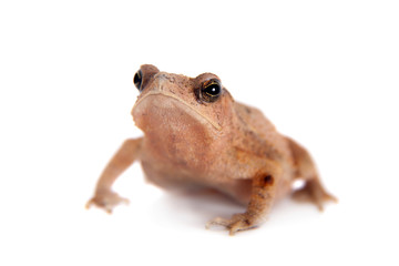 Beauty toad on white