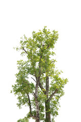 Single tree on white back ground.