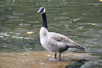 Goose still like a Statute