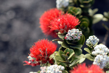 blazing blooms of ohia flowers at the Volcano National Park, Big Island, Hawaii