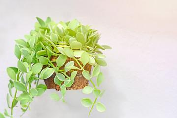 Dischidia nummularia Variegata isolate on wall background