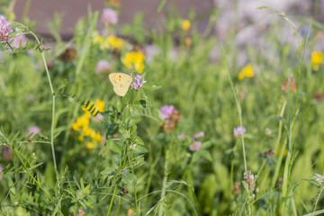 Butterfly Colias Hyal