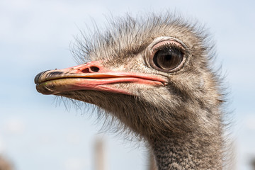 Portrait of an ostrich in sunny day
