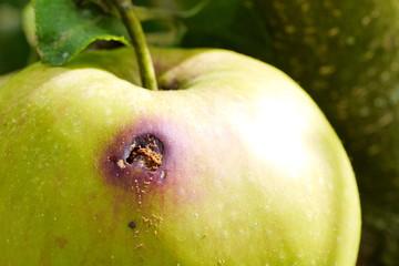 Schädlingsbefall an Apfel von Apfelwickler, Cydia pomonella